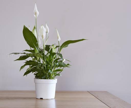 Які кімнатні рослини радують нас цвітінням протягом усього року?