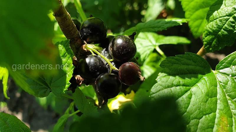 Домашнє вино зі смородини: три кращих рецепта