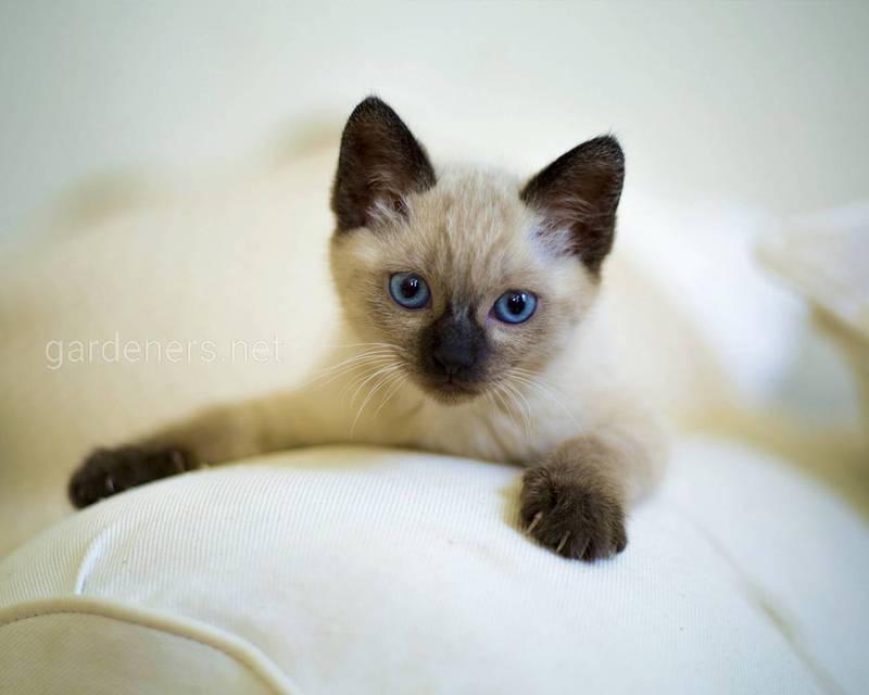 Розумні і слухняні породи кішок!