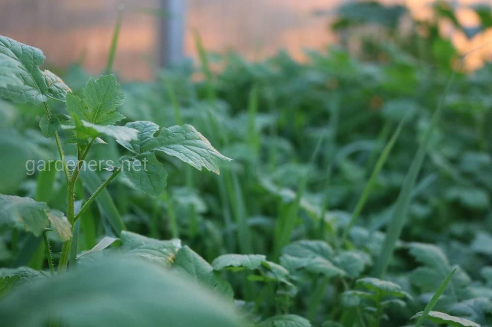 Сидераты - как сделать почву более плодородной