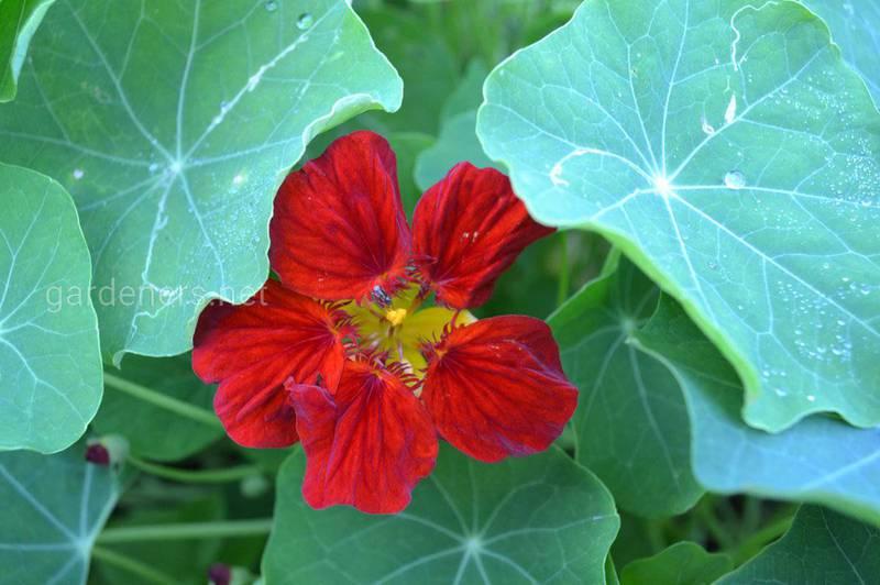 Настурция - источник витамина С в каждом саду!