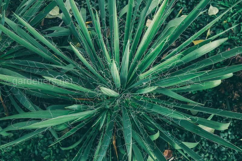 Штопорная трава