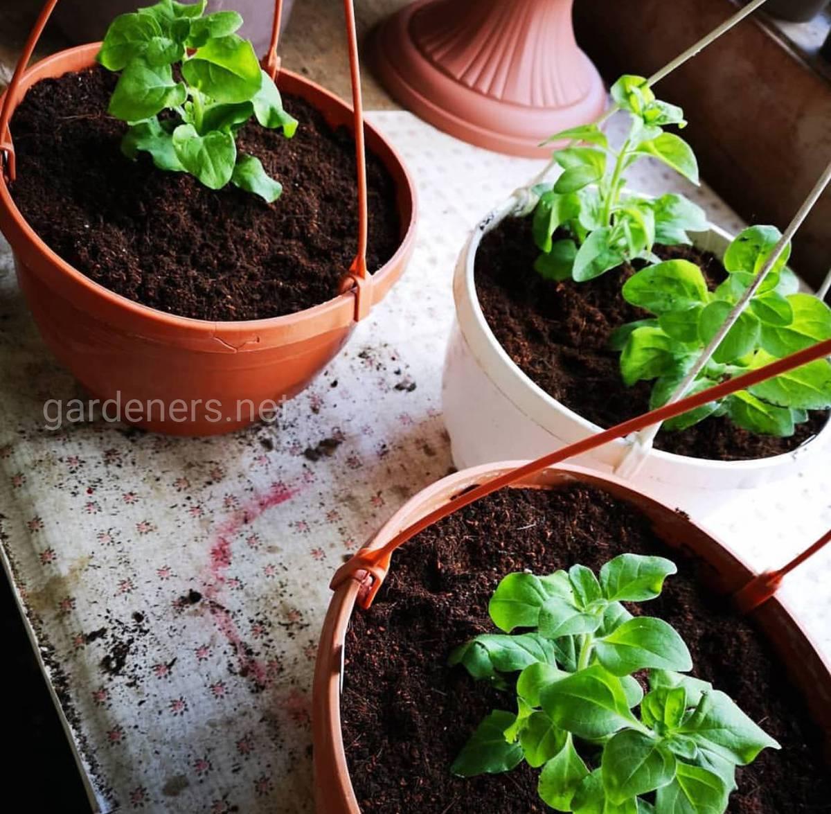 Ампельная петуния лучше всего подходит для выращивания в кашпо.
