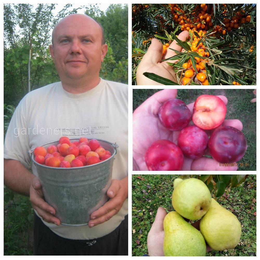 Город Кировоград коллекция плодовых