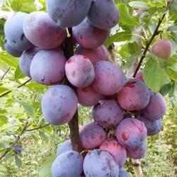 Хатунский питомник плодовых и декоративных растений