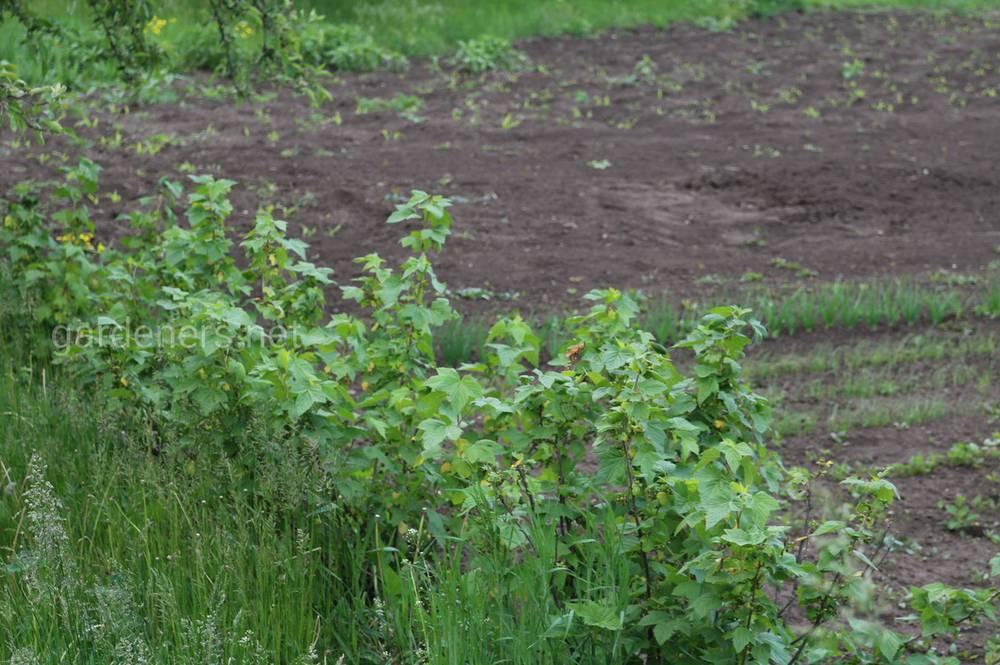 Как улучшить урожай смородины