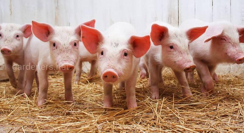 АМГ-прогноз: живі свині подорожчають у закупівлі на 2 – 10%