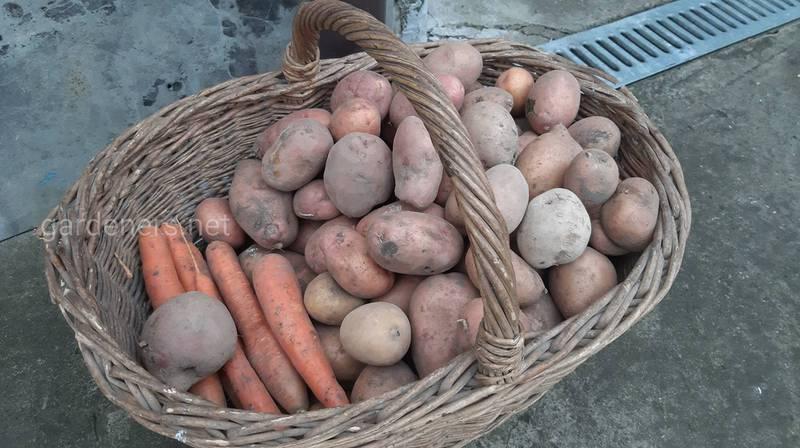 Який спосіб збору картоплі кращий для зберігання та як його правильно зберігати?