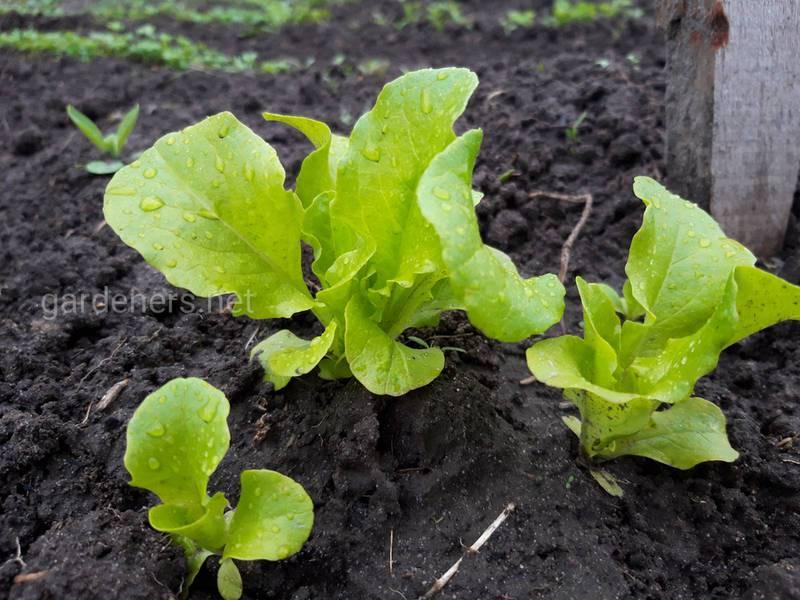Як висівати польовий салат?