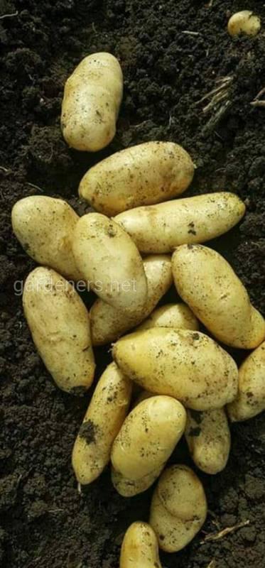 Как распознать ризоктониоз картофеля? Основные способы защиты урожая.