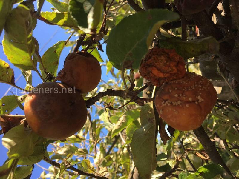 Почему возникает гниение и высыхание плодов? Симптомы монилиоза и фитофтороза!