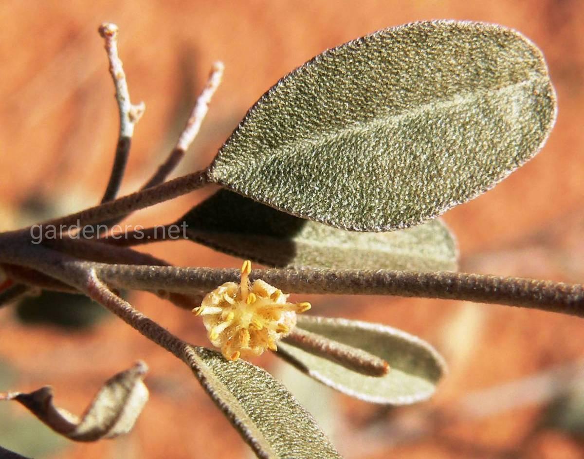 Croton «Californicus»