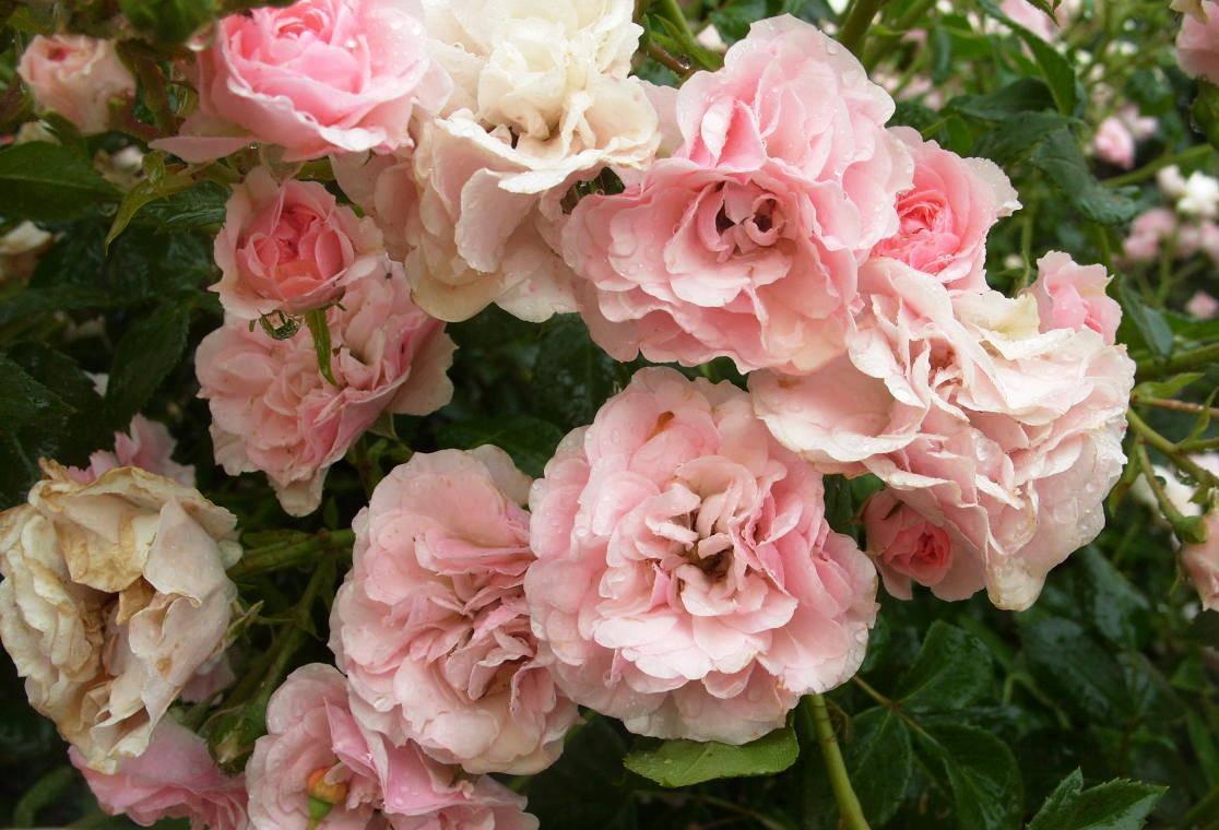 Сорт почвопокровной розы Bonica