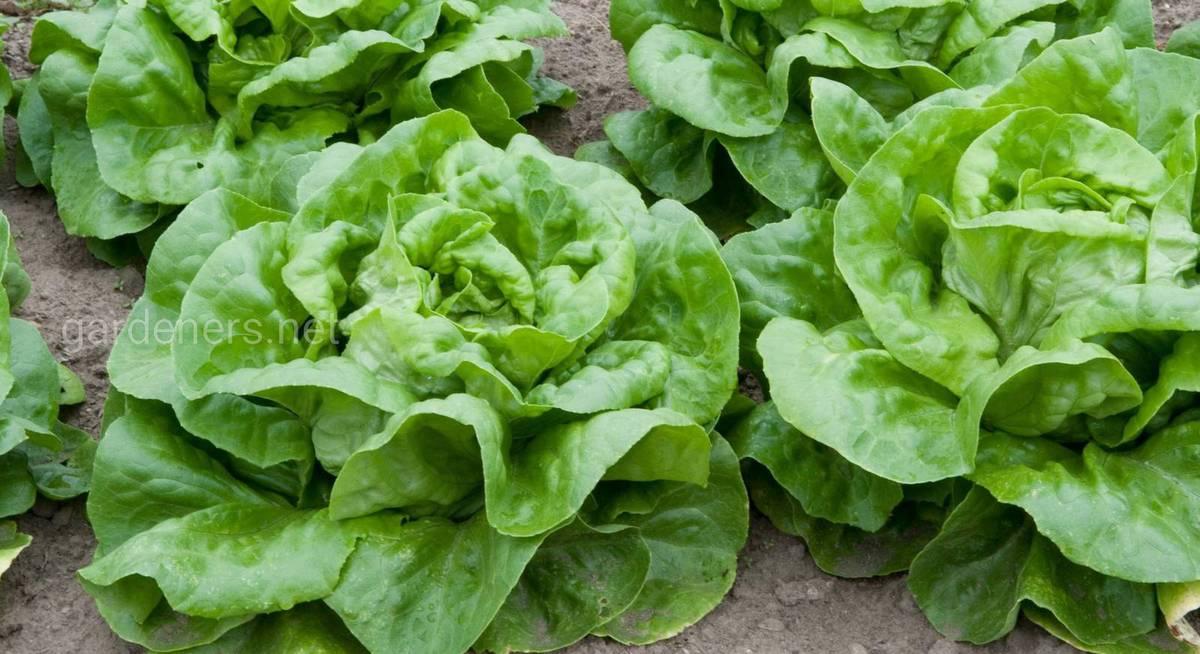 Описание и особенности выращивания кочанных и полукочанных салатов