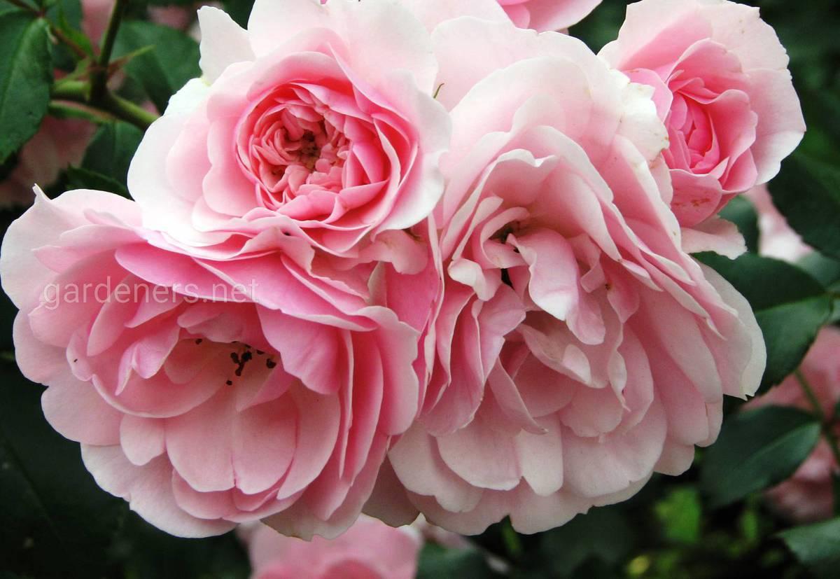 Сорта роз Bonica 82