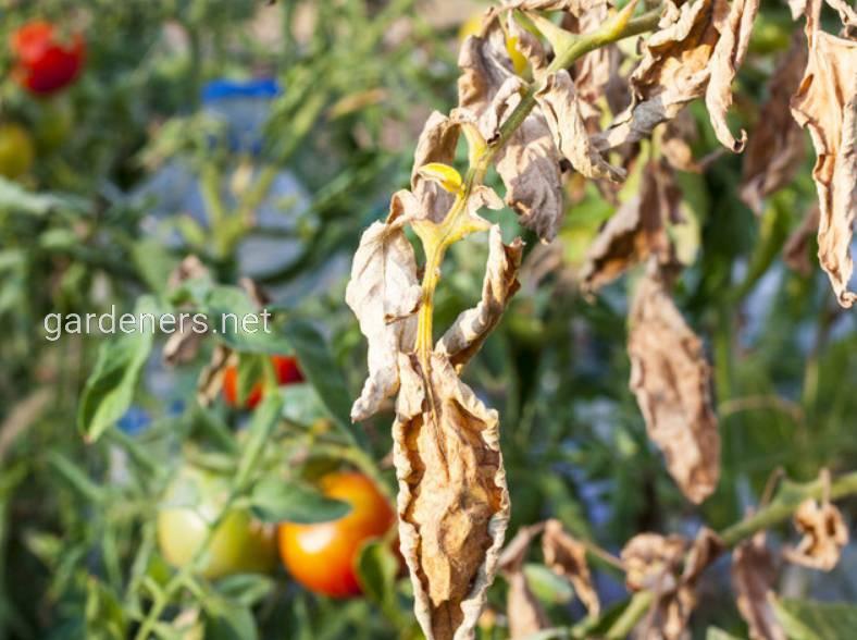 Вирус огуречной мозаики на томатах