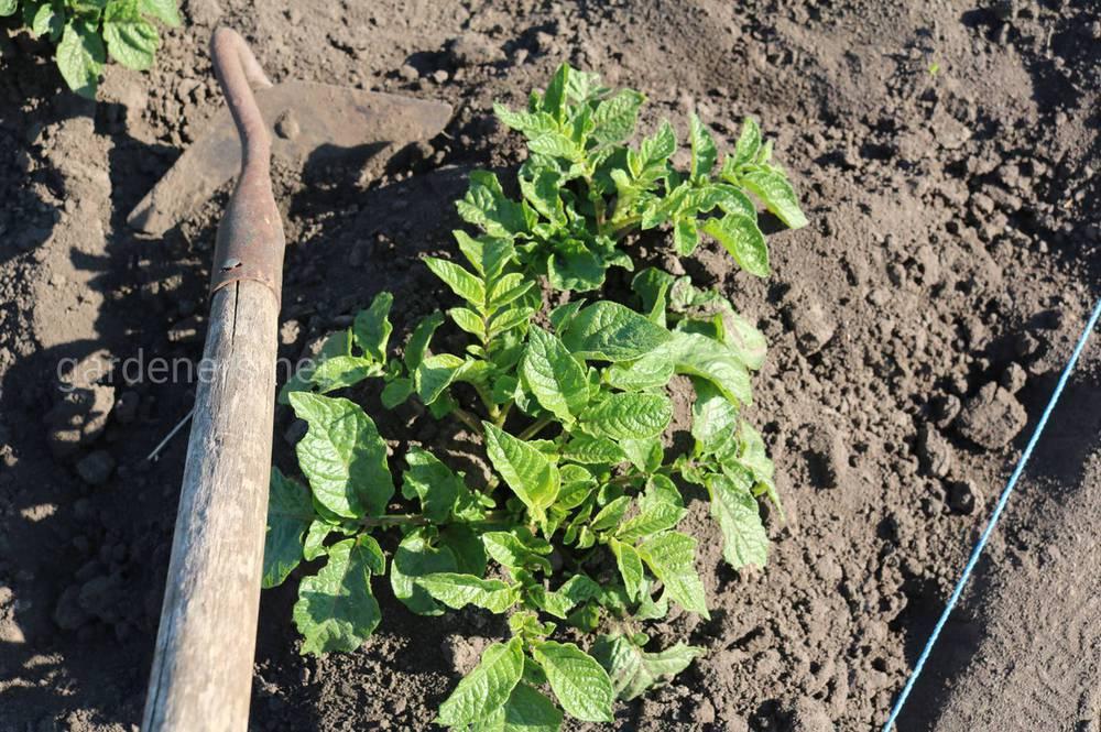 Условия полива картофеля для высокой урожайности