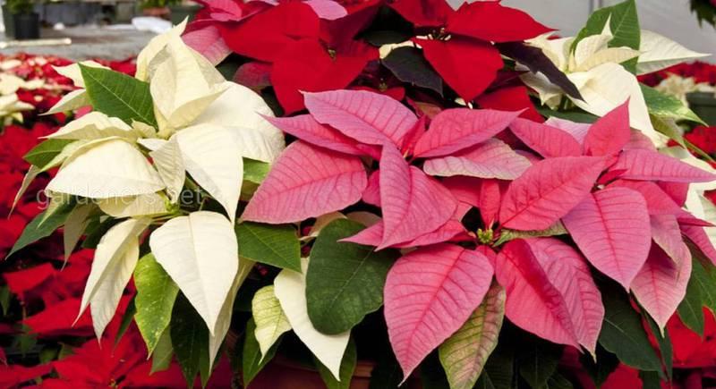 Рожева Різдвяна зірка: святкова красуня, рівна за красою до червоної