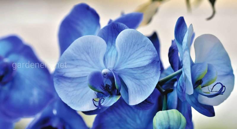 Орхідея фаленопсис – знайома незнайомка. Короткий огляд найбільш цікавих видів, сортів та гібридів