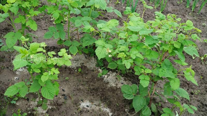От чего зависит интервал посадки малины и как выбрать систему выращивания? Рекомендации