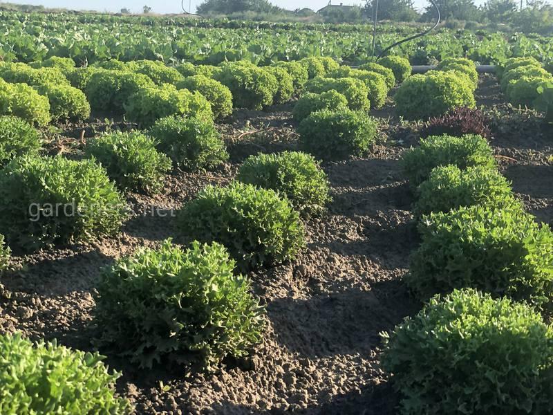 Агротехніка виробництва польового салату