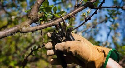 Обрезка черешни весной виды и правила.jpg
