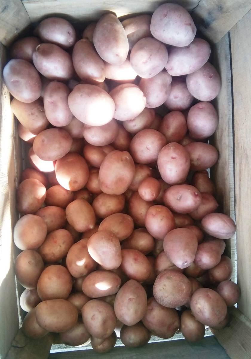 Сорт картофеля Кристина