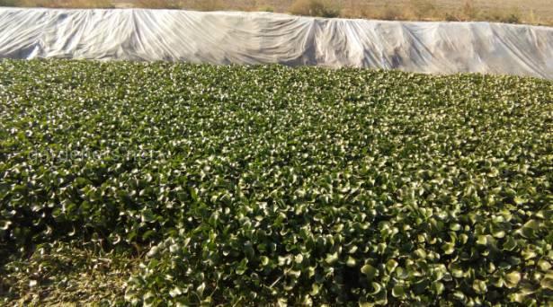 Выращивание эйхорнии в открытом биобассейне  У Самвела