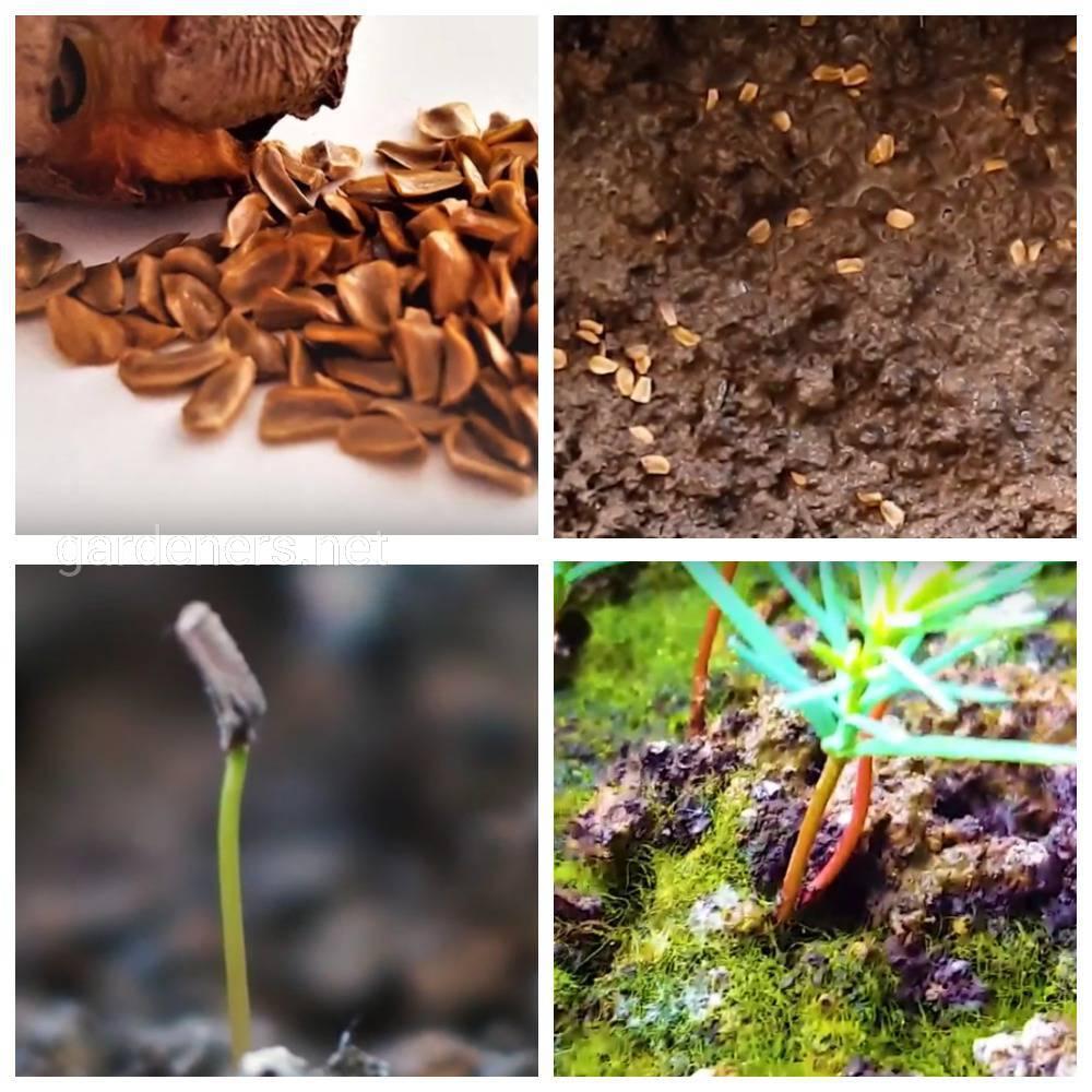 размножение кипарисовика семенам