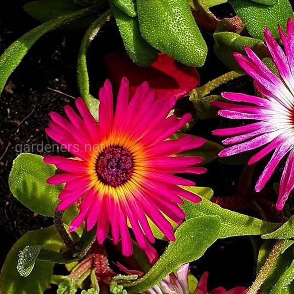 Mesembryanthemum