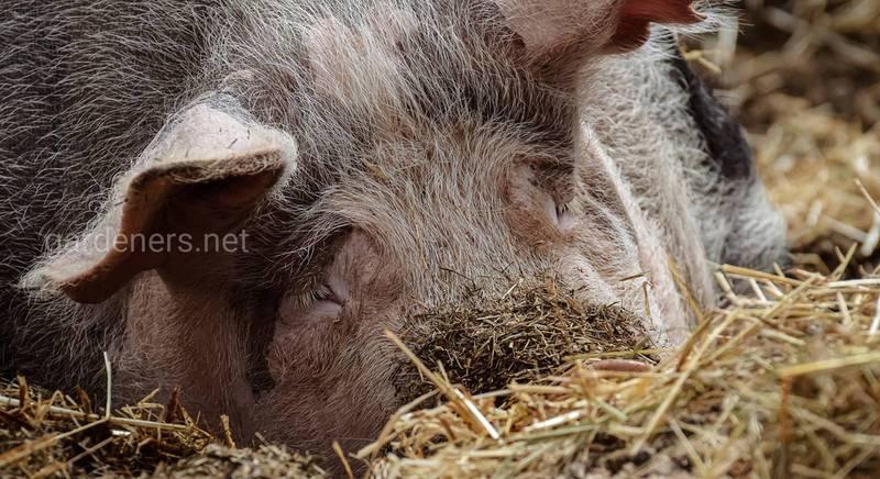 Что должен знать начинающий свиновод