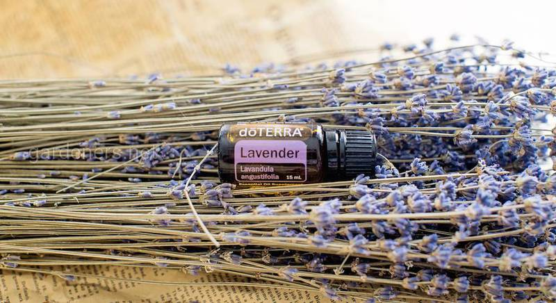 Лаванда, эфирное масло с характером....