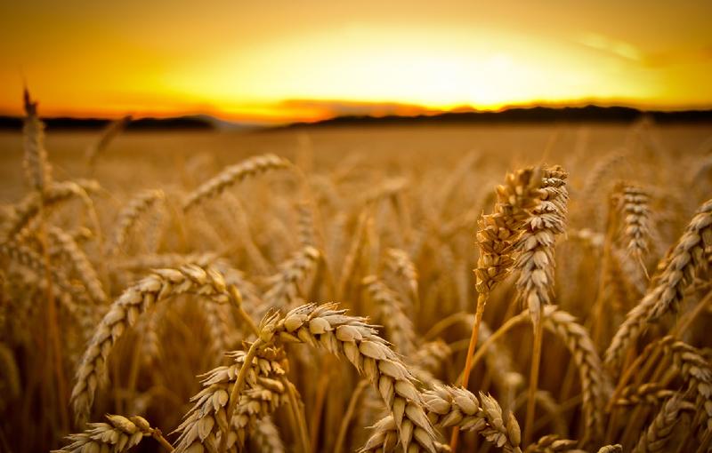 Сечовина - найкраще азотне добриво для пшениці!