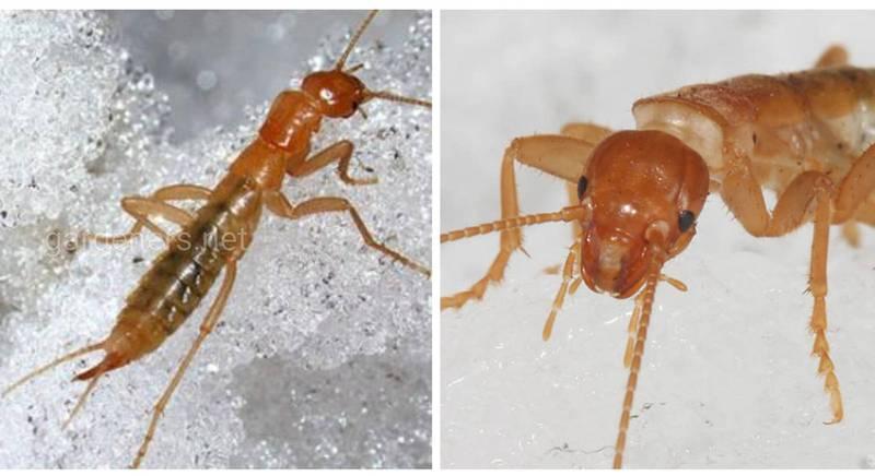 """Два роди вимерлих тарганоцвіркунів були названі """"Дав дуба"""" і """"Врізав дуба"""""""