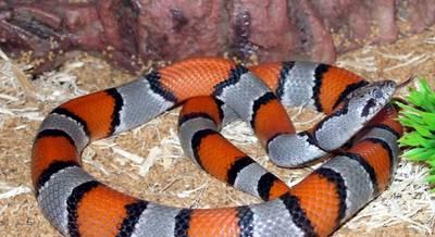 Молочна змія червоно-сіра