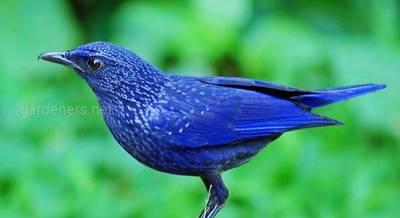 Синій птах