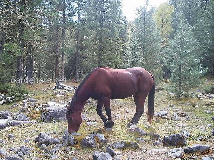 Бурятская порода лошадей