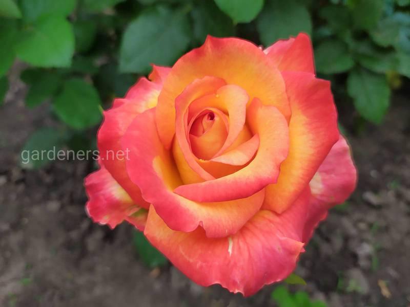 Какие существуют виды роз?