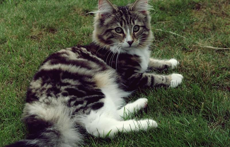 Норвезька лісова кішка: чудовий вихованець, що любить інших котів і собак