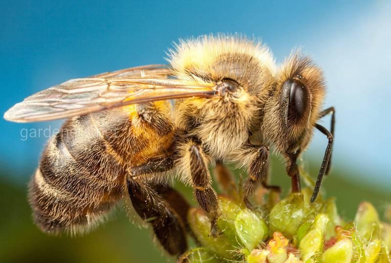 Які комахи корисні в саду?