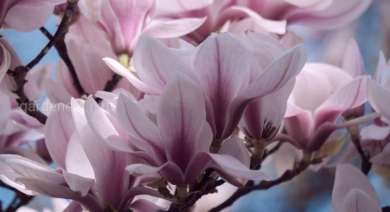 Розкішна магнолія: найкрасивіше квітуче дерево, яке завжди захоплює подих