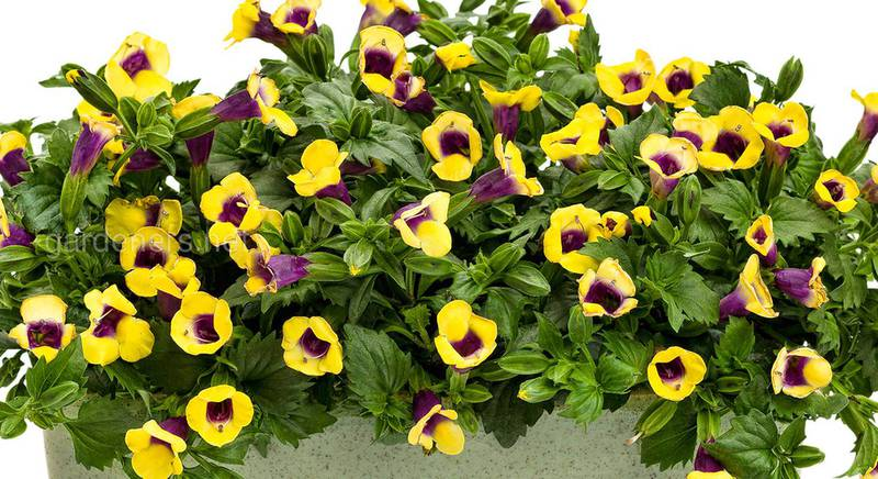 Самые красивые сорта торении, виды цветка