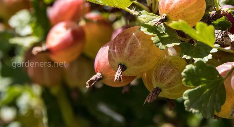 Сорти агрусу без шипів: як зібрати урожай, і не поранитися