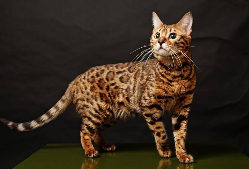 Бенгальська кішка: домашній леопард з не котячим голосом
