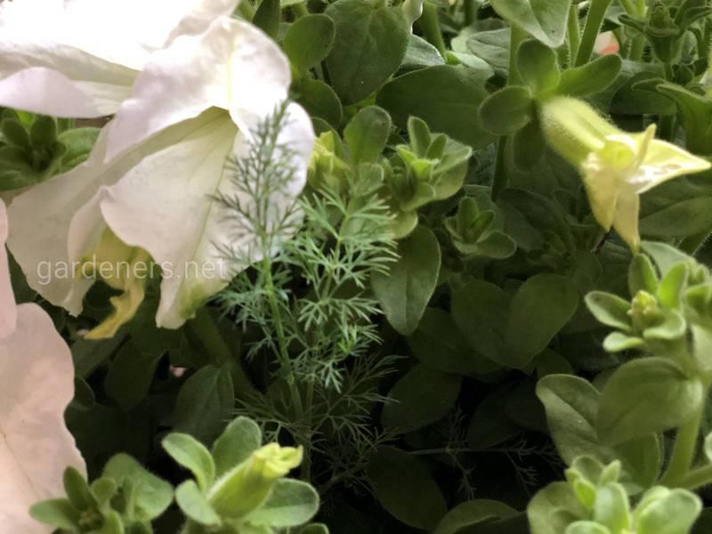 Основні вимога до вирощування кропу?
