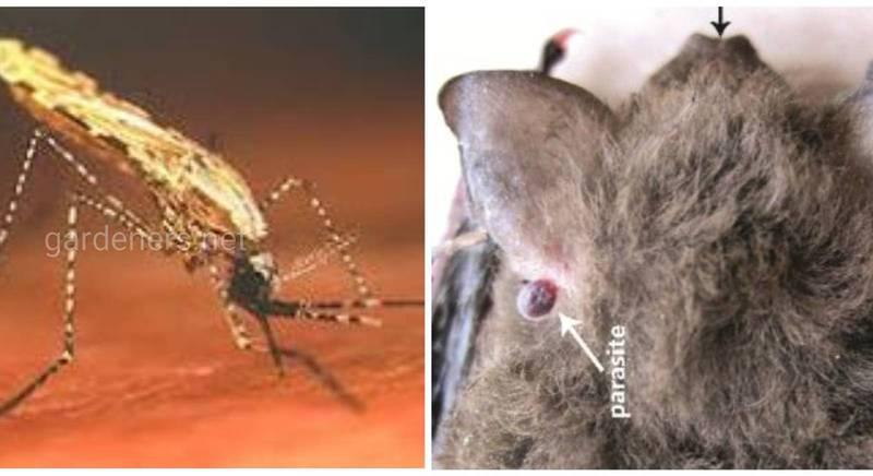 Іссик-Кульська лихоманка - вірусне захворювання, яке передається людині переважно від кажанів