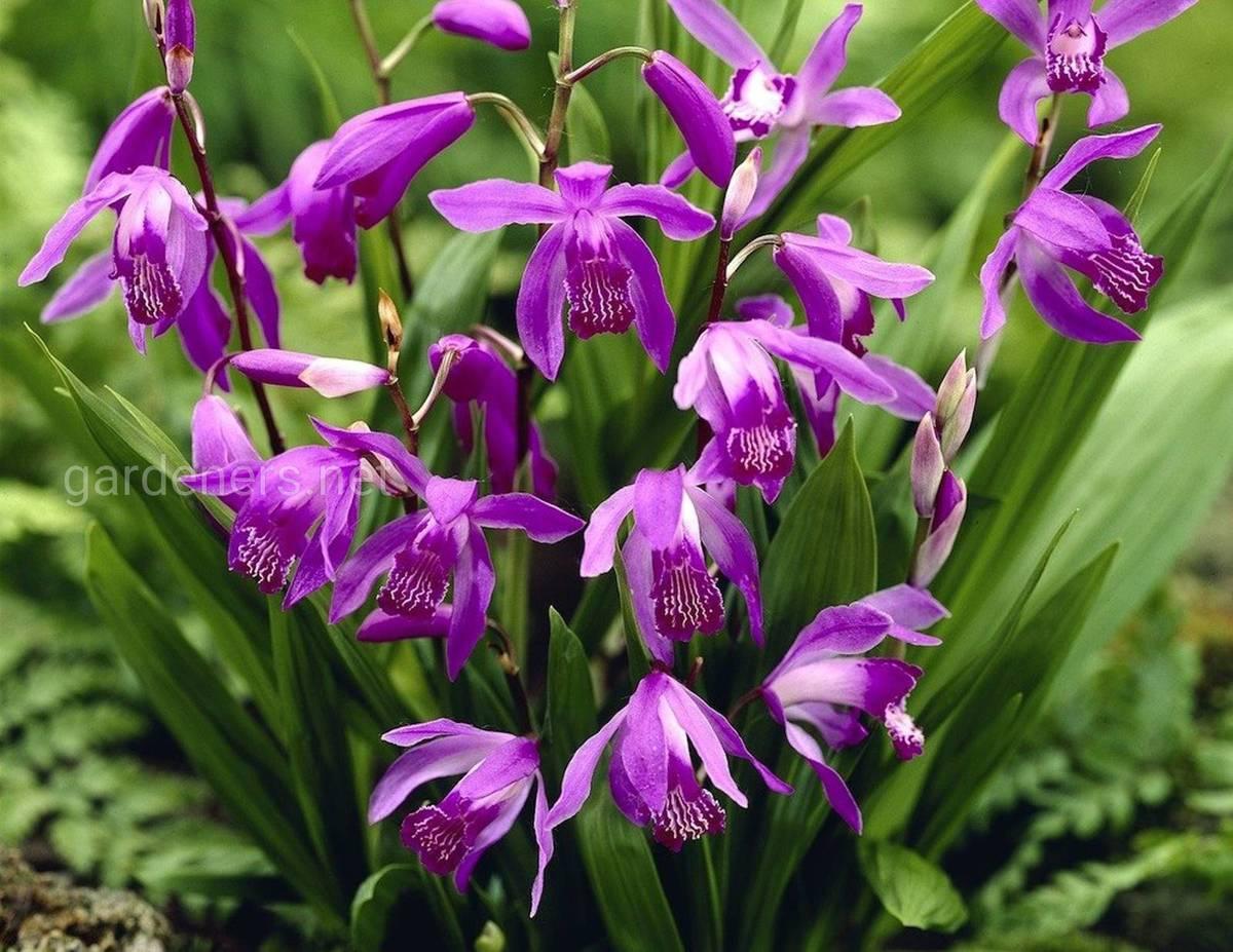 Bletilla Striata Purple