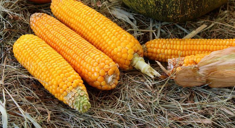 Як використовувати кукурудзу з користю: від живої огорожі до застосування врожаю