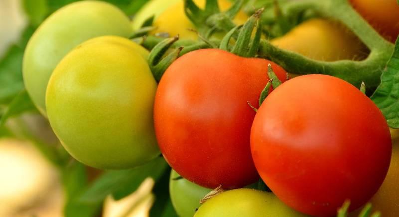 томат.jpg