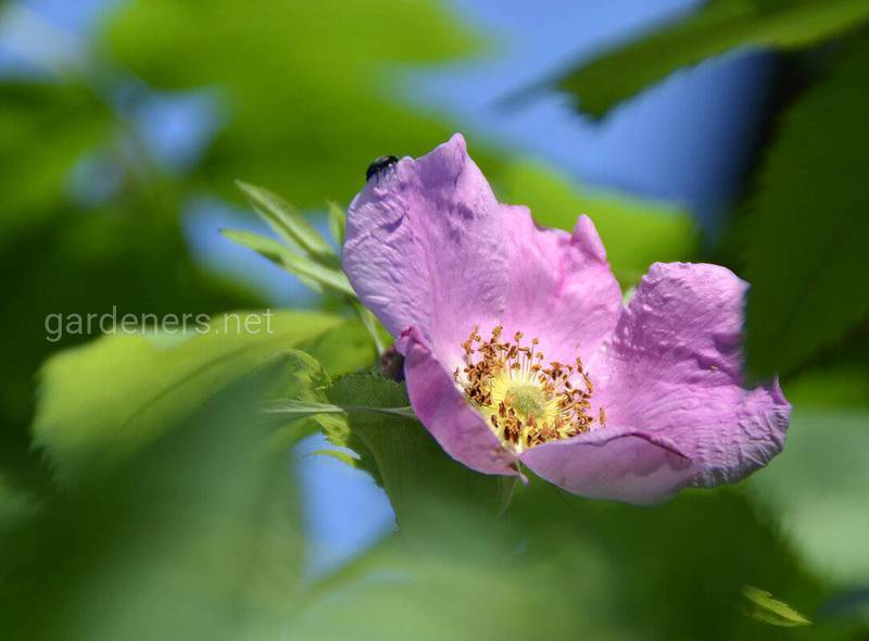 Дика троянда (шипшина): характеристика та поширення